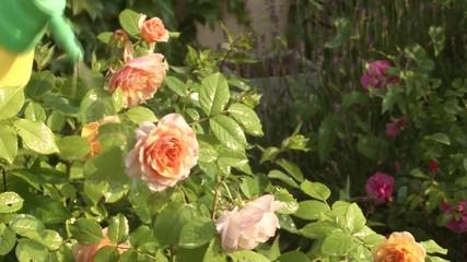 Traitement anti-poux pour les rosiers