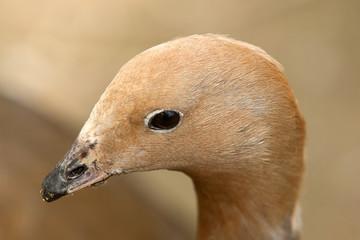 goose portraite 8291