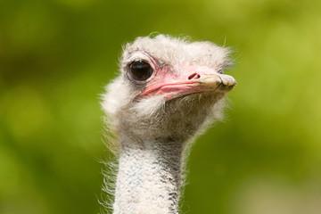 ostrich portraite 8227