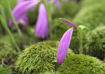 蘭のつぼみ