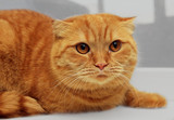 scottish fold purebred red cat poster
