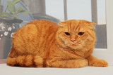 displeased scottish fold red cat poster