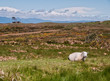 Sheep in the Cape Foulwind Countryside in New Zealand.