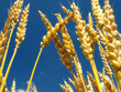 Wheat close-up