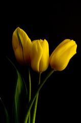 yellow tulips shot against black velvet background
