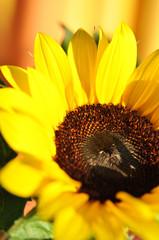 Jahreszeit, Sonnenblume