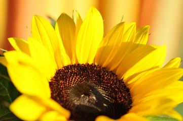 Sonnenblume, zart