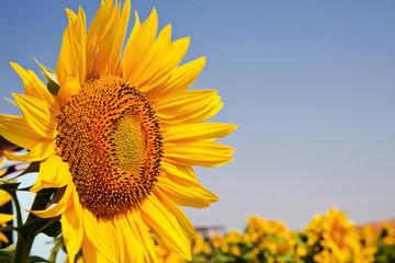 sunflower field and blue sky
