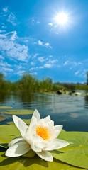 beautiful white lily under a sun