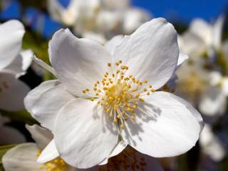 pfeifenstrauchblüte