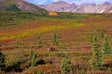Caribou at the tundra