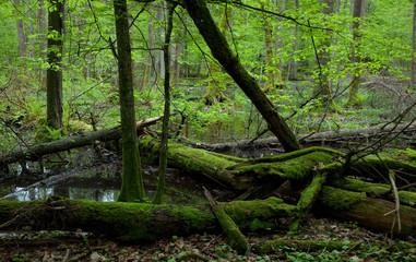 Moss covered broken alder trees lying in water