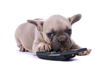 French Bulldog Baby & Mobil Phone
