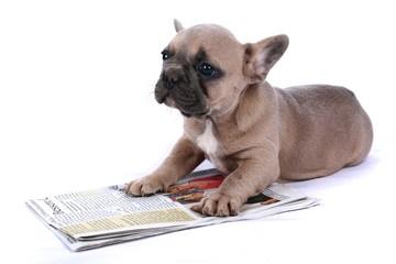 French Bulldog Baby & Newspaper