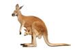 Leinwanddruck Bild - Känguruweibchen mit Jungtier auf weiß