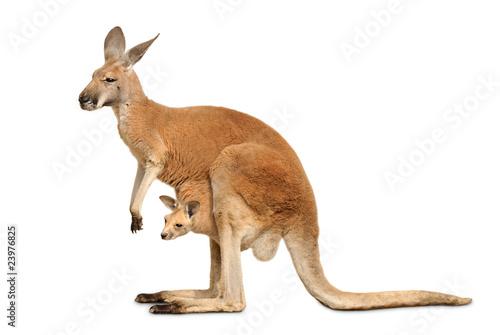 Foto op Canvas Kangoeroe Känguruweibchen mit Jungtier auf weiß
