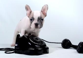 French Bulldog Puppy & Telefon