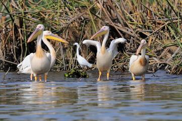 Great White Pelican (Pelecanus onocrotalus), lake Nakuru