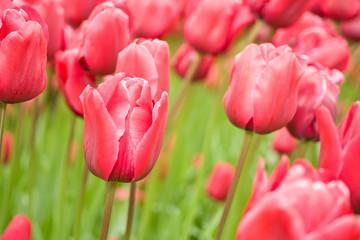 Flowers in keukenhof park in Holland