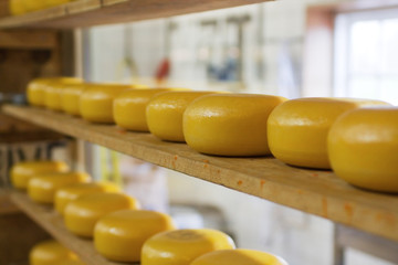 Rows of cheese maturing in factory