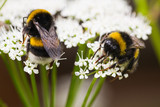 Fototapety Bumble bees busy gathering nectar in summer