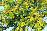 Unripe fruits poster
