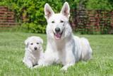White Swiss Shepherds