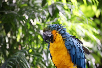 Macaw or parrot with yellow and blue ruffled feathers