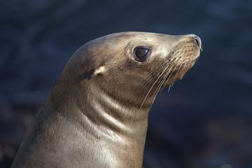 Sea  Lion _MG_1427