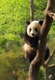 Cute panda cub