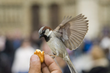 Sparrows Eating