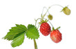 branch of wild strawberry