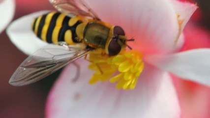 bee gathers pollen with is flower