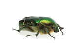 Flower chafer (rose chafer, Cetonia aurata) beetle poster