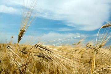 Wheat crop closeup