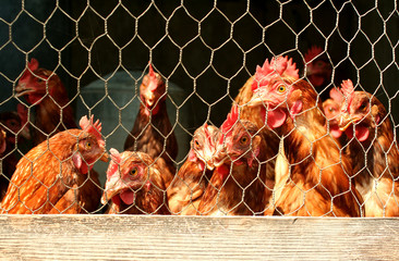 Bunch of chickens in a coop