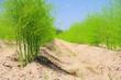 Leinwandbild Motiv Spargelfeld - asparagus field 22