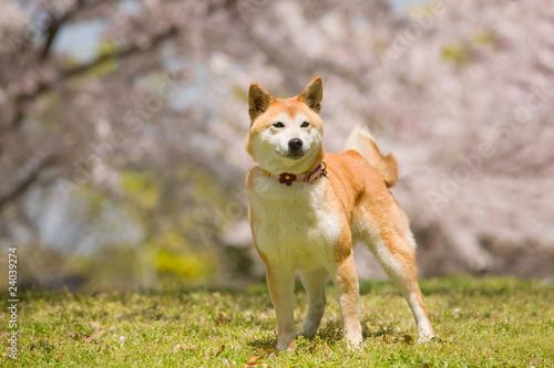 桜の花を背景にした日本犬  japanese dog