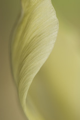 Close up of pale tulip