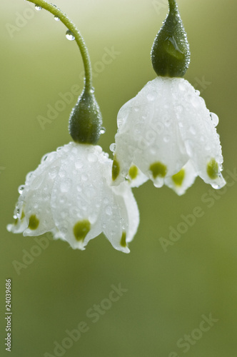 Close up of white show bells