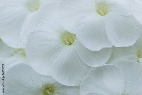 Close up of white phlox