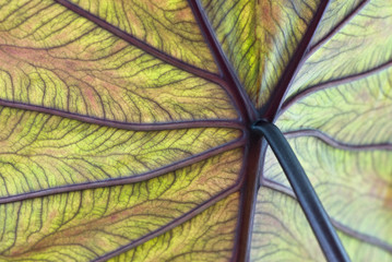 Close up of colocasia esculenta leaf