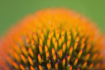 Close up of echinacea
