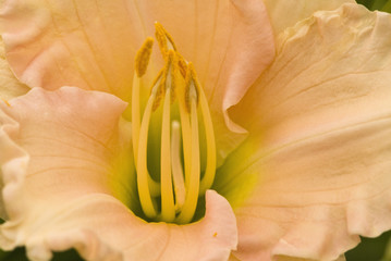 Close up of yellow lily