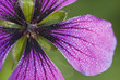 Close up of purple geranium