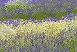 Field of blooming lavender