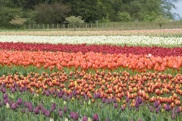"""Varieties of Sakgit Valley tulips, Washington"""