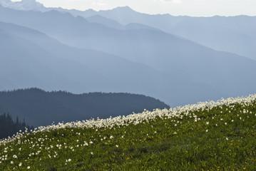 """Avalanche lilies on Hurricane Ridge, Olympic National Park, Washington"""