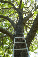 Tree Ladder