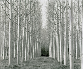 """Bare, white-trunked trees"""